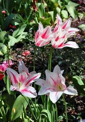 Clyne In Bloom Early May 2017 (10) (goweravig) Tags: flowers blooms tulips clyne mayals swansea wales uk parks gardens clynegardens