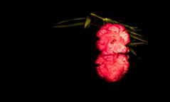 Carnation (1 of 1) (ogmw093) Tags: gurushots carnation singleflower