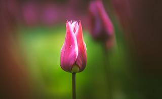 Tulips - Spring flowers series - 6
