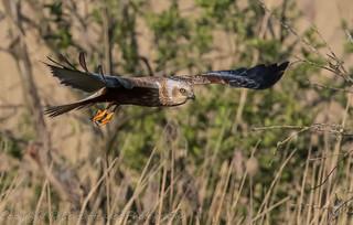 Marsh Harrier on the prowl (Circus aeruginosus) Best viewed large