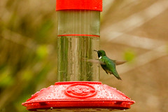 20170505-Hummingbird (ChathamGardens) Tags: capecod chathamgardens hummingbird birds birdsinflight chathamma