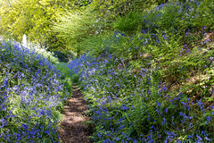Bluebells (Keith in Exeter) Tags: bluebells flowers woodland trees path outdoor landscape dappled shade dorset coneyscastle nationaltrust