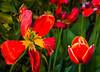17-05-07 tulpe alt gen cemetry bokeh 2 dsc07290 (u ki11 ulrich kracke) Tags: generationen jung nah rot stengel tulpealt
