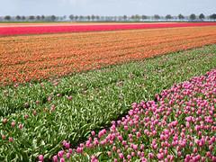Tulip fields (EvelienNL) Tags: tulip tulips flower flowers field flowerfield flowerbed bulbfield bloemen tulpen bollenveld bollenvelden tulpenveld tulpenvelden bloemenveld bloemenvelden colourful dutch holland netherlands flevoland flevopolder orange oranje pink roze