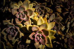 Into the light (FotoFloridian) Tags: nature plant flower closeup backgrounds petal macro leaf beautyinnature botany yellow multicolored pattern blossom green succulent sony alpha a6000