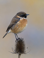 Stonechat (oddie25) Tags: canon 1dx 600mmf4ii stonechat chat teasel thistle breandowns brean birds bird birdphotography nature naturephotography wildlife wildlifephotography