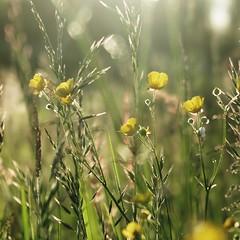 Quand tout s'éclaire - When all is clear (nathaliedunaigre) Tags: nature field prairie champ fleurssauvages boutonsdor wildflowers wildgrass herbes graminées bokeh effetbokeh carré square light lumière sun soleil ensoleillé sunny