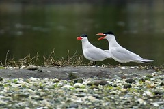 Caspian Terns (r) (Melanie Leeson) Tags: caspian terns hydroprogne caspia blingsister melanieleesonwildlifephotography canon canon7dmarkii canonef100400mmf4556lisiiusm14xiii southernvancouverisland httpswwwmelanieleesonphotographycom melanieleesonphotographycom