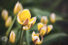 Tulips (warmianaturalnie) Tags: nature flower plant yellow springtime petal beautyinnature freshness leaf tulip outdoors flowerhead greencolor season summer closeup blossom flowerbed botany growth warmia naturalnie warmianaturalnie