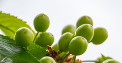Young cherries (Washington State Department of Agriculture) Tags: cherry fruittree spring