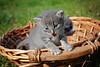kittens (Sareni) Tags: sareni serbia srbija vojvodina banat juznibanat alibunar kittens macici animal korpa light svetlost boje colors grass trava macke spring prolece may 2017 twop