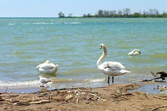 """""""Faith is the bird that feels the light and sings when the dawn is still dark."""" (Trinimusic2008 - stay blessed) Tags: trinimusic2008 judymeikle nature park lake lakeontario swans sky toronto to ontario canada trees"""