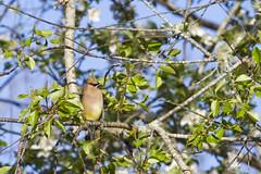 Cedar Waxwing (brucetopher) Tags: cedar waxwing cedarwaxwing bird yellow eating fruit tree birds birding birdwatching watch watching avian newengland newenglandbirds