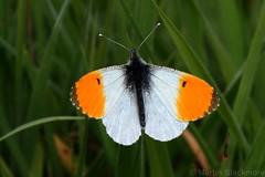 Orange tip butterfly 5882(550D) (wildlifetog) Tags: orange tip blackmore britishisles britain butterfly brading mbiow martin marsh canon eos550d wild wildlifeeurope wildlife wings nature isleofwight uk