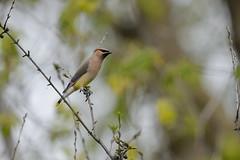 Cedar Waxwing-41511.jpg (Mully410 * Images) Tags: avian birding waxwing bird birds cedarwaxwing park birder birdwatching washingtoncountry tamaracknaturecenter