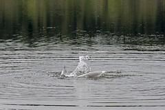 Osprey Moves, Part 4 of 6 (David Badke) Tags: colwood bc bird