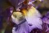 DSC08658 (Shutter_Hand) Tags: texas usa miguelmendozamuñoz clarkgardens botanicalpark weatherford mineralwells secretgarden parquebotánico jardinbotánico botanico jardin jardinsecreto texasgem texasjewel lenscraft sonyaf100mmf28macro macro sony alpha a99 sonyalphaa99 slta99 flor flower fleur iris flordelis