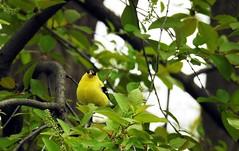 American Goldfinch (M) (■ ZM ■) Tags: americangoldfinch chardonneretjaune bird oiseau wildlife leaves tree finch molt forehead spring male