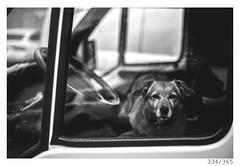 go away (Aljaž Anžič Tuna) Tags: 334 334365 365 car dog doggy k9 canine small truck frontseats photo365 project365 portrait portraitunlimited onephotoaday onceaday 35mm 365challenge 365project d800 dailyphoto day dof domastic white bw blackandwhite black blackwhite beautiful animal animalportrait nikond800 nikkor nice naturallight nikkor50mm 50mm 50mmf18 f18 monocrome monochrome window