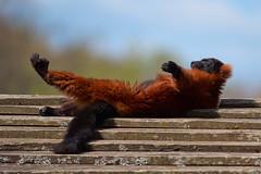 Zen (rondoudou87) Tags: pentax k1 parc zoo reynou nature natur zen fun funny relax relaxing maki vareciarubra variroux