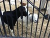 IMG_5026 (lnewman333) Tags: losangeles ca usa dtla downtownlosangeles goat socal southerncalifornia weedcontrol bunkerhill angelsflight funicular railway fireprevention workinggoats
