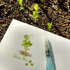 Les p'tits pois (Cécile Kery Hocquet) Tags: dessin aquarelle pois jardin potager sketch