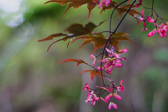 """(Light Echoes) Tags: sony a6000 slrmagiccine 50mm f11 2017 spring may pennsylvania plant tree maple redmaple seed bokeh """"sonyflickraward"""