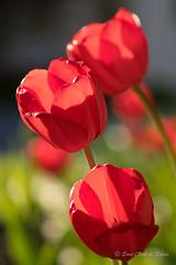(Sous l'Oeil de Sylvie) Tags: tulipes fleurs flowers vivaces rouges red sousloeildesylvie printemps spring pdc dof profondeurdechamps lumière light parc arboretum stgeorges beauce québec macro macrophotographie pentax ks2 tamron90mm