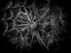 (giorgosgrigoriadis16) Tags: dandelion