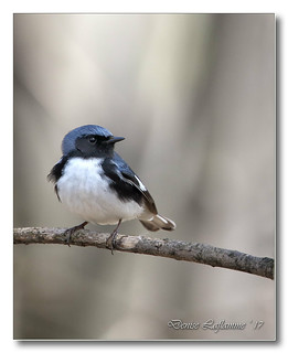 103A3143-DL   Paruline bleue / Black-Throated Blue Warbler.