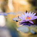 A Lily (M Hooper) Tags: lily sydney botanicgardens 85mm