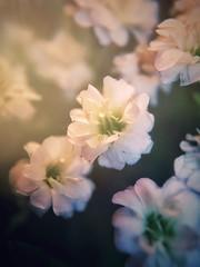 Mini-Blüten (bs1ffm) Tags: beautiful blossom blüte blüten blumen blume flower flickr flowers frankfurt germany new nature natur iphonepic photography bokeh makro macro macrophotograhy olloclip
