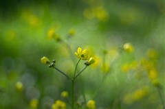 yellow and green (ΞSSΞ®®Ξ) Tags: ξssξ®®ξ pentax k5 bokeh smcpentaxm50mmf17 italy spring 2017 plant outdoor depthoffield blossom green yellow light fabriano appennini nature flowers meadow focus macro flower garden buttercup marche wildflowers