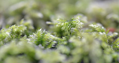 mossy floor (conall..) Tags: macro mondays into woods intothewoods macromondays nikonafsnikkorf18glens50mm raynox dcr250 closeup wood county down tullynacree annacloy desenfoque outoffocus narrow dof selective focus moss green damp