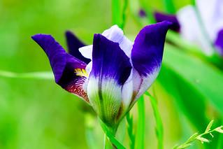 German Iris : ジャーマン・アイリス