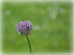 Zierlauch (mayflower31) Tags: allium wiese garten blume flower frühling spring