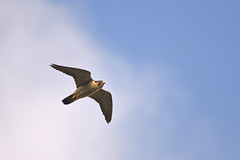 Peregrine (Falco peregrinus) (Baldyal) Tags: peregrine falcon bird prey wildlife shropshire