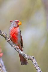 pyrrhuloxia sonoran desert arizona (lee barlow) Tags: d7200 birdsofarizona cardinalissinuatus leebarlow nikon pyrrhuloxia