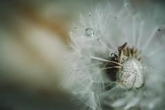 Banned from Weeding the Garden! (Samantha Nicol Art Photography) Tags: macro water droplet matte lookslikefilm samantha nicol art grain dandelion weed modern