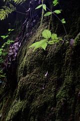 Lichen the View (Kpakr) Tags: japan kyoto moss lichen tree forest
