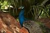 Pavocristatus4 (Edvaldomarques) Tags: pavão portoferreira cor aves freedomlife naturestile brazil nikon spiritofphotography musictomyeyes