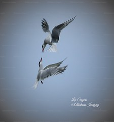 Courting Common Terns. (Albatross Imagery) Tags: springwatch spring rspb beautiful birdsinflight flickr instagram photo photography naturephotography wildlifephotography nikkor nikon nature wildbirds wildlife bird birds courting tern commontern