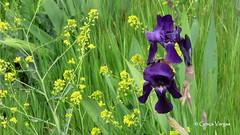 purple & yellow (✿ Graça Vargas ✿) Tags: iris flower purple macro graçavargas ©2017graçavargasallrightsreserved yellow 28918130717 segovia spain