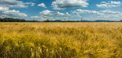 golden waving cornfield (hjuengst) Tags: umbrien umbria lake laketrasimeno cornfield golden panorama clouds landscape