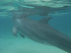 DSCF1070 Dolphin @ Anthony's Key Resort / Roatan, Honduras / April 2017 (bermudafan8) Tags: 2017 spring break bermudafan8 dolphin water roatan honduras snorkeling anthonyskeyresort