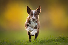 Tissaia ♥ (Alicja Zmysłowska) Tags: puppy run border collie