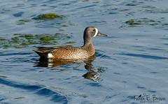 Blue-winged Teal (BirdFancier01) Tags: nature bird waterbird waterfowl pond spring migration duck bluewingedteal