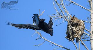 Raven Vs. Great Horned Owl 4_24 2