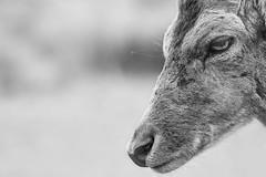 Daim | Deer (jordanc_pictures) Tags: animal animals parcdesaintecroix daim deer noiretblanc blackandwhite nb bw