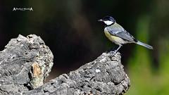 Parus major #3 (José M. F. Almeida) Tags: birds portugal chapimreal great tit parus major